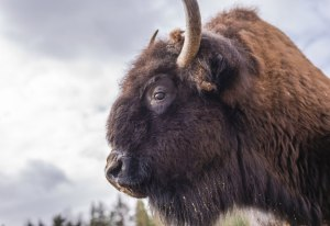 Bison in the Northwest Territories